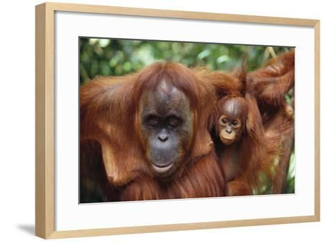 Mother and Young Orangutan-DLILLC-Framed Art Print