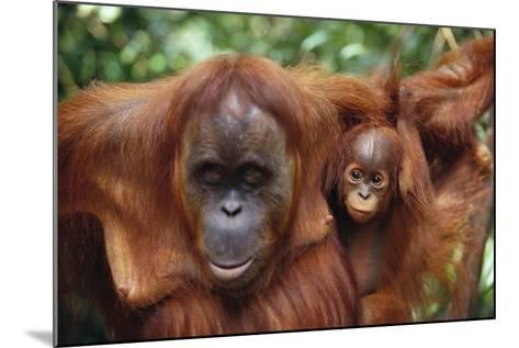 Mother and Young Orangutan-DLILLC-Mounted Photographic Print