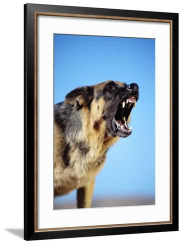 German Shepherd Barking-DLILLC-Framed Art Print