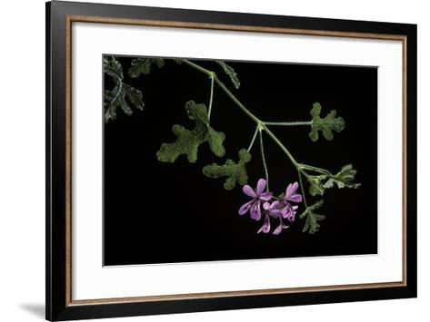 Pelargonium Quercifolium (Oakleaf Geranium)-Paul Starosta-Framed Art Print
