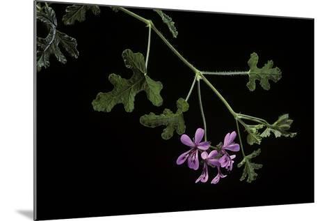 Pelargonium Quercifolium (Oakleaf Geranium)-Paul Starosta-Mounted Photographic Print