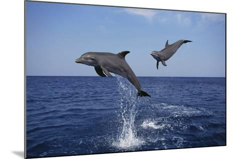 Bottlenosed Dolphins in Caribbean Sea-DLILLC-Mounted Photographic Print