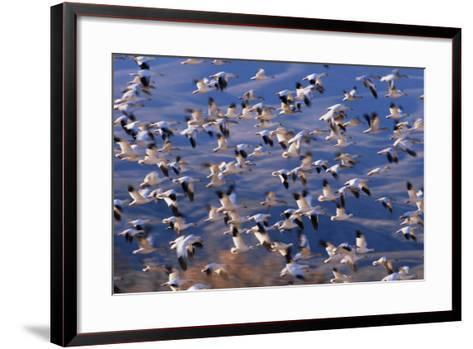 Flock of Snow Geese in Flight-DLILLC-Framed Art Print