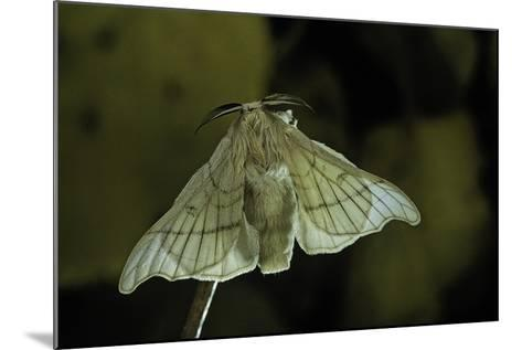 Bombyx Mori (Common Silkmoth)-Paul Starosta-Mounted Photographic Print