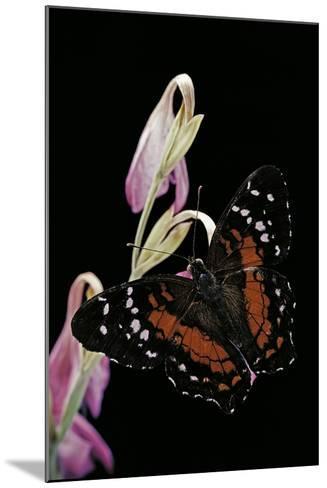 Anartia Amathea (Brown Peacock, Scarlet Peacock)-Paul Starosta-Mounted Photographic Print