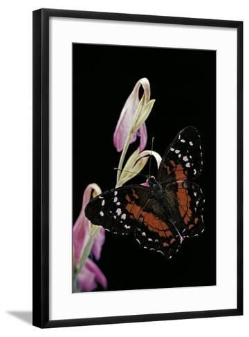 Anartia Amathea (Brown Peacock, Scarlet Peacock)-Paul Starosta-Framed Art Print