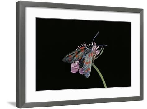 Zygaena Filipendulae (Six-Spot Burnet)-Paul Starosta-Framed Art Print