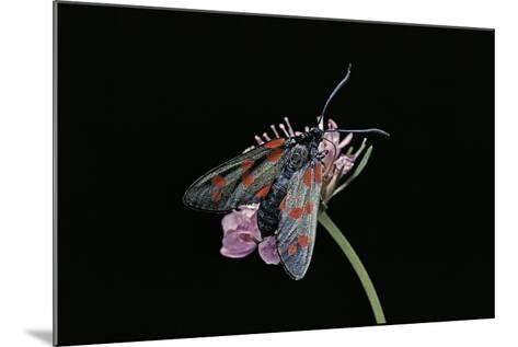 Zygaena Filipendulae (Six-Spot Burnet)-Paul Starosta-Mounted Photographic Print