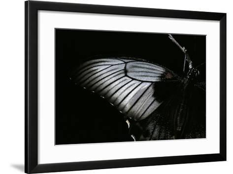 Papilio Lowi (Great Yellow Swallowtail, Asian Swallowtail) - Wings Detail-Paul Starosta-Framed Art Print