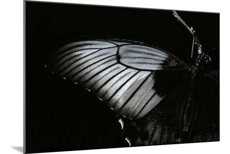 Papilio Lowi (Great Yellow Swallowtail, Asian Swallowtail) - Wings Detail-Paul Starosta-Mounted Photographic Print