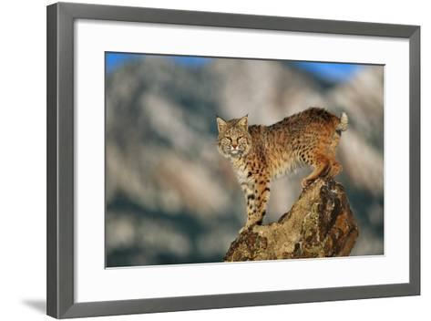 Bobcat Perched on Rock-DLILLC-Framed Art Print