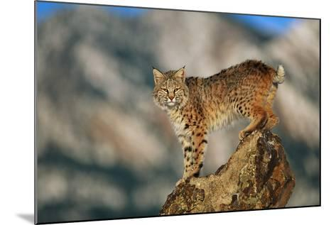 Bobcat Perched on Rock-DLILLC-Mounted Photographic Print