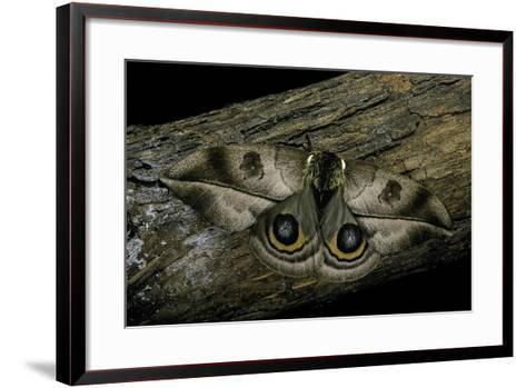 Automeris Harrisorum (Moth)-Paul Starosta-Framed Art Print