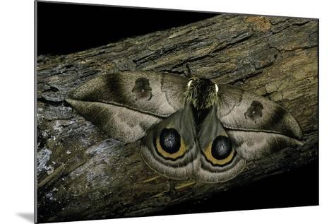 Automeris Harrisorum (Moth)-Paul Starosta-Mounted Photographic Print