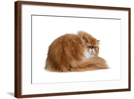 Persian Cat-Fabio Petroni-Framed Art Print
