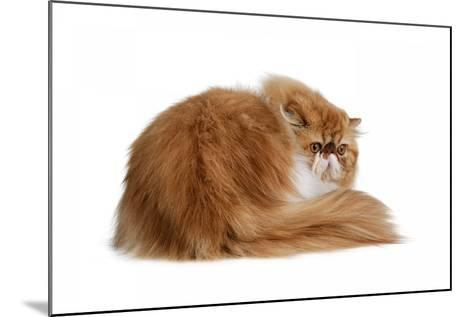 Persian Cat-Fabio Petroni-Mounted Photographic Print