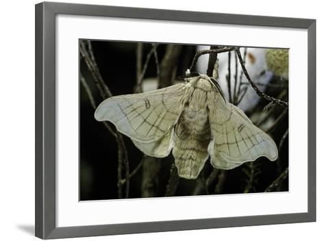 Bombyx Mori (Common Silkmoth)-Paul Starosta-Framed Art Print