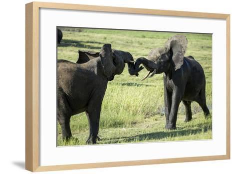 Elephants Fighting, Chobe National Park, Botswana-Paul Souders-Framed Art Print