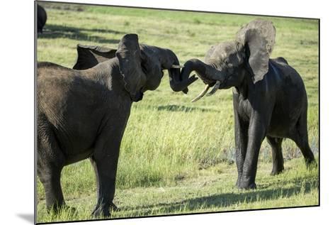 Elephants Fighting, Chobe National Park, Botswana-Paul Souders-Mounted Photographic Print