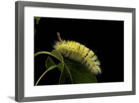 Calliteara Pudibunda (Pale Tussock Moth, Red Tail Moth) - Caterpillar-Paul Starosta-Framed Art Print