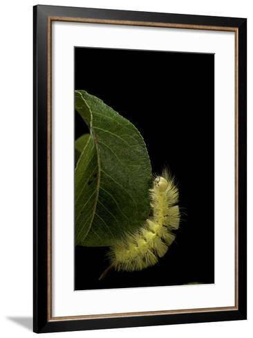 Calliteara Pudibunda (Pale Tussock Moth, Red Tail Moth) - Caterpillar-Paul Starosta-Framed Art Print