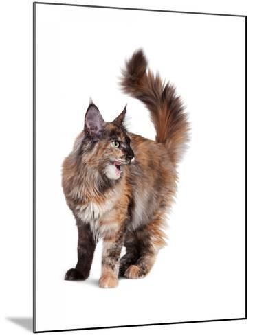 Maine Coon Cat-Fabio Petroni-Mounted Photographic Print