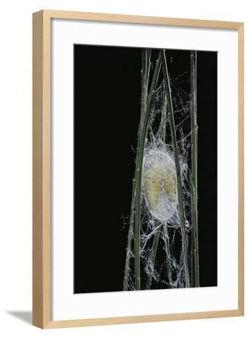 Bombyx Mori (Common Silkmoth) - Larva or Silkworm Spinning Cocoon-Paul Starosta-Framed Art Print