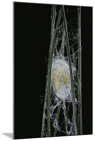 Bombyx Mori (Common Silkmoth) - Larva or Silkworm Spinning Cocoon-Paul Starosta-Mounted Photographic Print