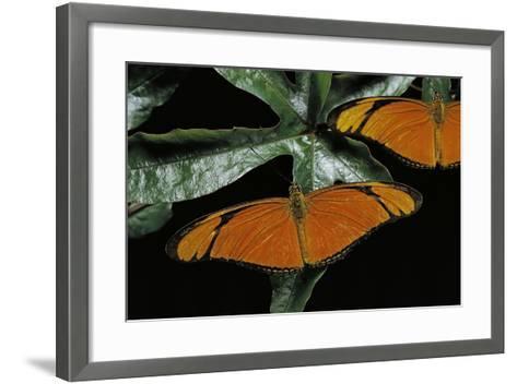 Dryas Julia (Julia Butterfly, the Flame)-Paul Starosta-Framed Art Print