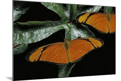 Dryas Julia (Julia Butterfly, the Flame)-Paul Starosta-Mounted Photographic Print