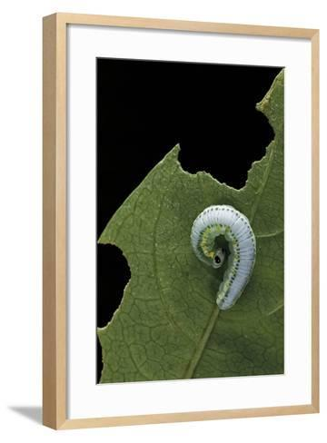 Greta Oto (Glasswinged Butterfly) - Caterpillar-Paul Starosta-Framed Art Print