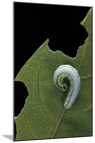Greta Oto (Glasswinged Butterfly) - Caterpillar-Paul Starosta-Mounted Photographic Print