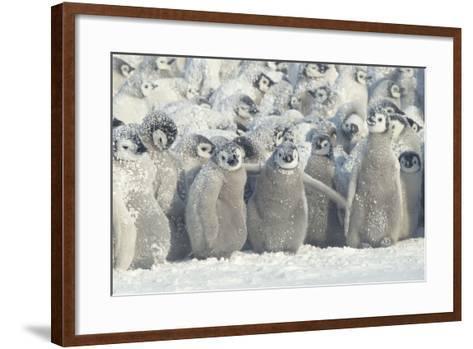 Penguin Chicks Exposed in Snow-DLILLC-Framed Art Print