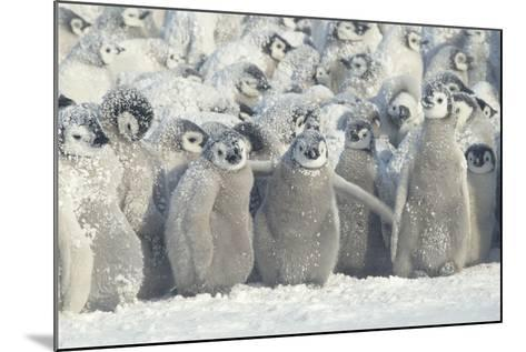 Penguin Chicks Exposed in Snow-DLILLC-Mounted Photographic Print