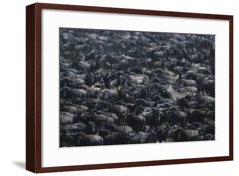 Zebra among Wildebeest Herd-DLILLC-Framed Art Print