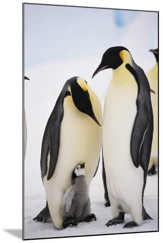 Chick between Adult Emperor Penguin-DLILLC-Mounted Photographic Print
