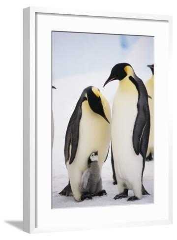 Chick between Adult Emperor Penguin-DLILLC-Framed Art Print