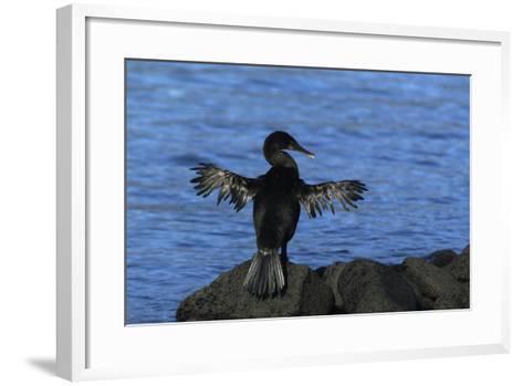 Flightless Cormorant Perched on Rock-DLILLC-Framed Art Print