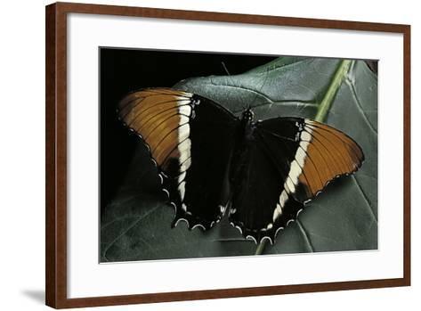 Siproeta Epaphus (Rusty-Tipped Page, Brown Siproeta) - Female-Paul Starosta-Framed Art Print