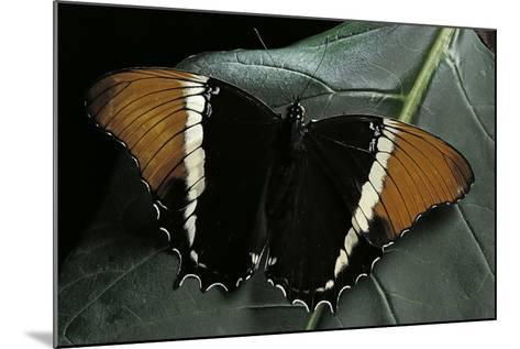 Siproeta Epaphus (Rusty-Tipped Page, Brown Siproeta) - Female-Paul Starosta-Mounted Photographic Print