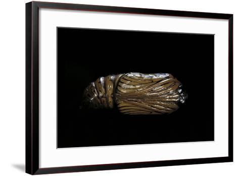 Urania Leilus (Green-Banded Urania)- Pupa-Paul Starosta-Framed Art Print