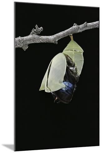 Morpho Peleides (Blue Morpho) - Emerging from Pupa-Paul Starosta-Mounted Photographic Print