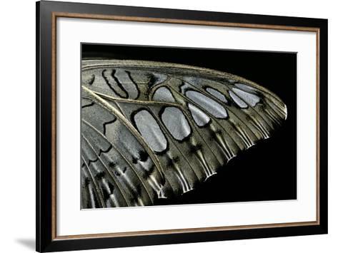 Parthenos Sylvia (Clipper Butterfly) - Wings Detail-Paul Starosta-Framed Art Print