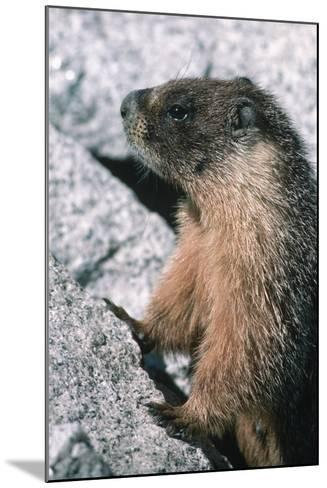Yellow-Bellied Marmot-George D Lepp-Mounted Photographic Print