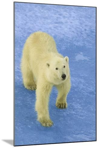 Polar Bear Looking Up-DLILLC-Mounted Photographic Print