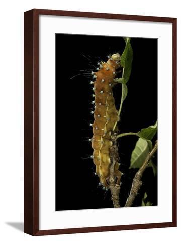 Saturnia Pyri (Giant Peacock Moth, Great Peacock Moth, Large Emperor Moth) - Caterpillar before Pup-Paul Starosta-Framed Art Print