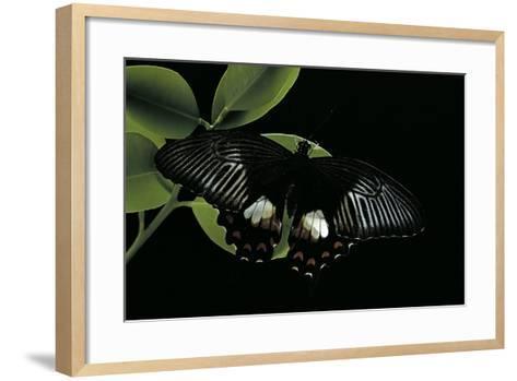 Papilio Polytes (Common Mormon)-Paul Starosta-Framed Art Print