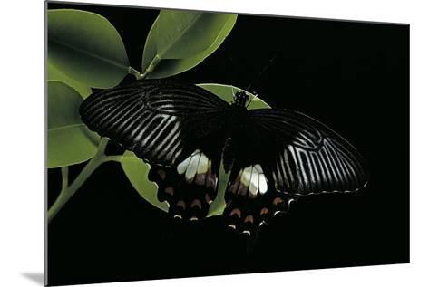 Papilio Polytes (Common Mormon)-Paul Starosta-Mounted Photographic Print
