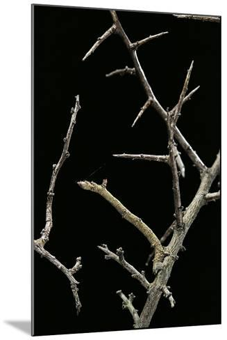 Ennomos Sp. (Thorn Moth) - Caterpillar or Inchworm Camouflaged on Twigs-Paul Starosta-Mounted Photographic Print
