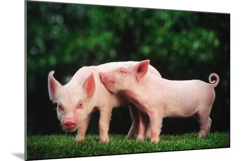 Two Affectionate Piglets-DLILLC-Mounted Photographic Print